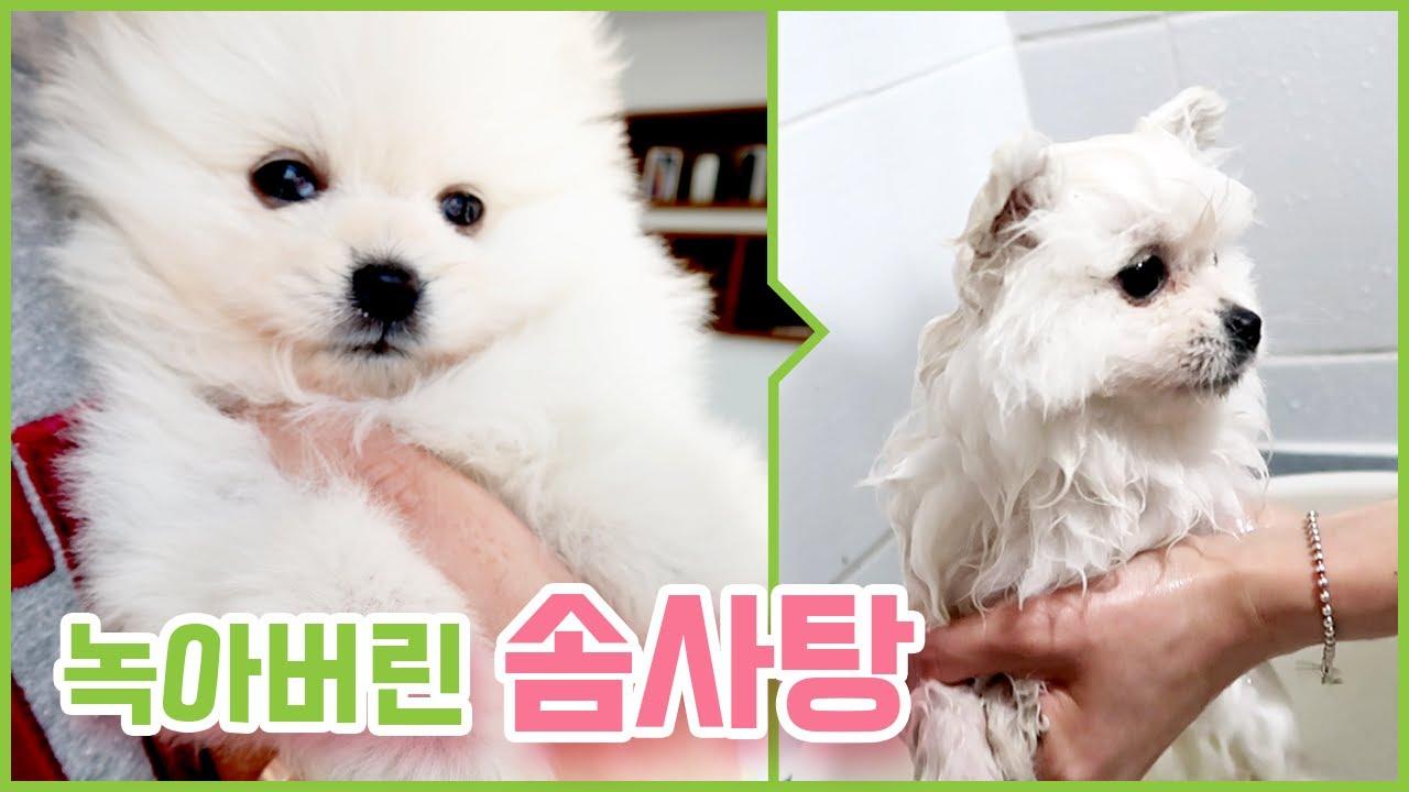강아지 생애 첫 목욕 / 녹아버린 솜사탕