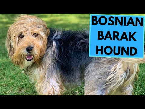 Barak Hound - Bosnian Coarse Haired Hound - Facts and Information