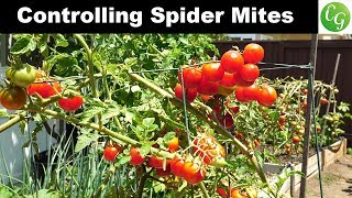 How to control spider mites in your garden - Tomato & Eggplant Spider Mite Control