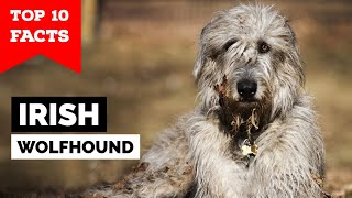 Irish Wolfhound  Top 10 Facts