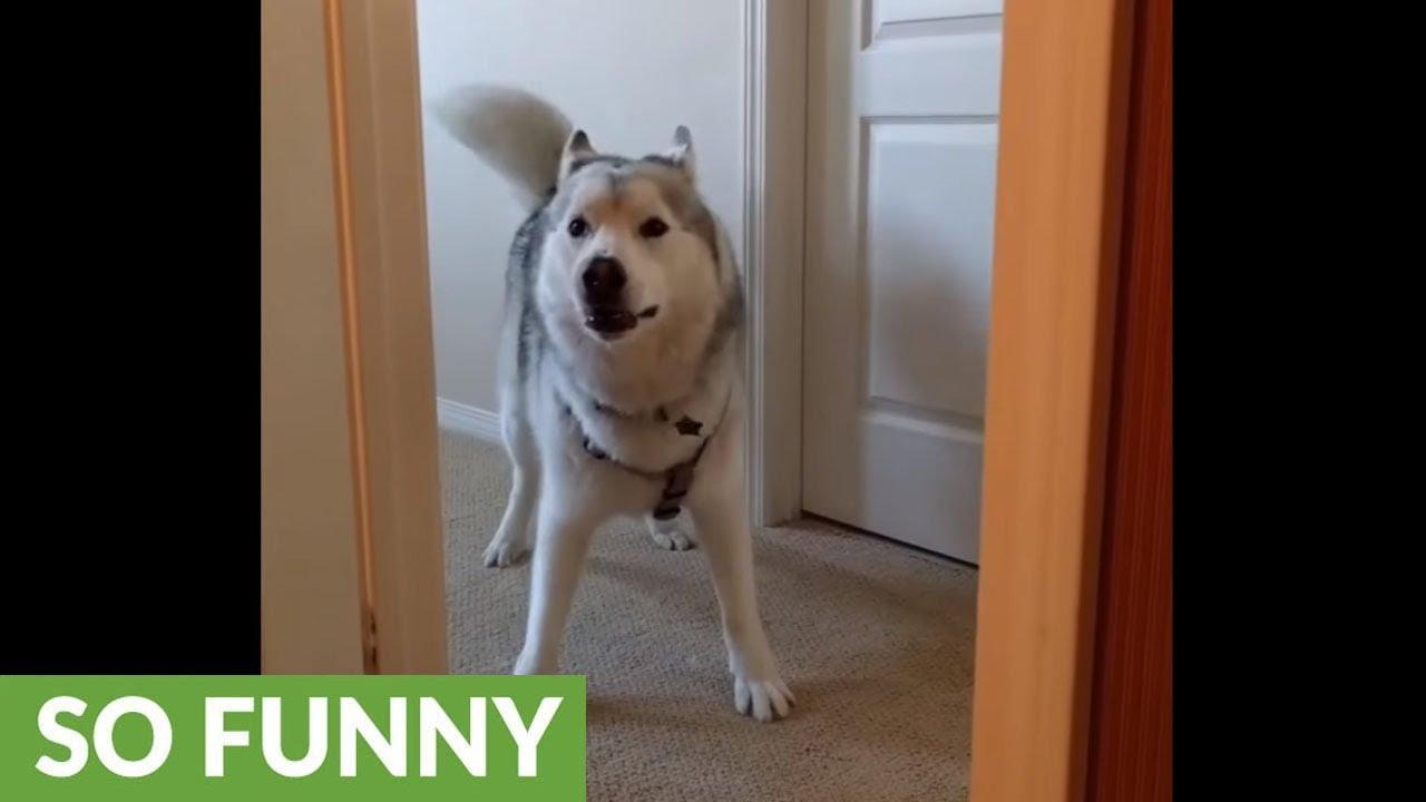 husky-plays-peekaboo-with-owner