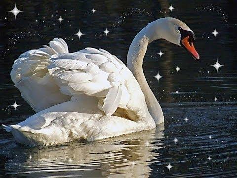 Красиво спел!!!!Белый лебедь на пруду