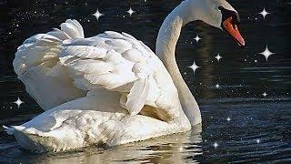 Download А белый лебедь на пруду Mp3 and Videos