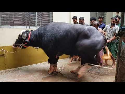 Nili Ravi buffalo| Qurbani 2018| Lalbagh Dhaka