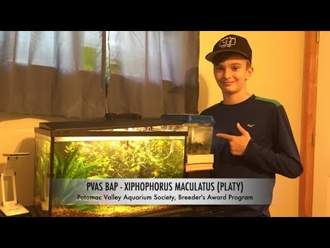 BAP Program -  Xiphophorus Maculatus (Platys)