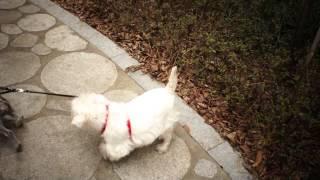 Westie And Schnauzer (mini)