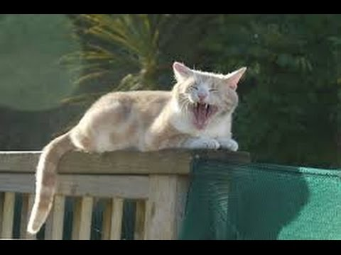 dan big cat katz