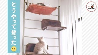 兄ネコのいる所に行きたい…! 子猫さんの挑戦です【PECO TV】 thumbnail