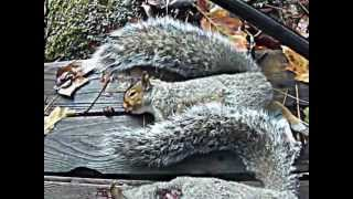 Air Rifle Squirrel Hunt In Maine 2 Thumbnail