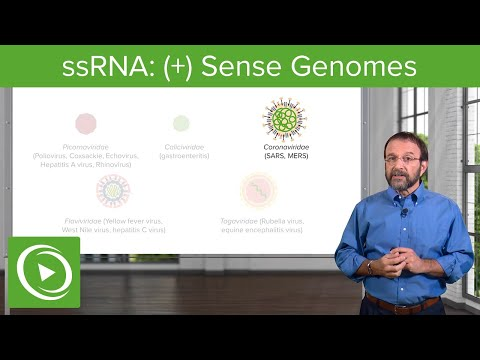Positive-sense Single-stranded RNA ((+)ssRNA) Virus – RNA Virus Genomes – COVID-19 | Lecturio