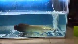 juvenille arapaima monster predator fish feeding