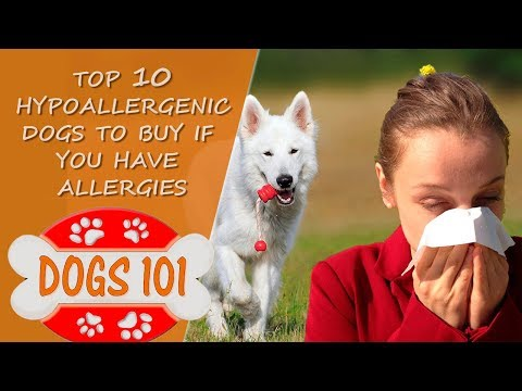 Allergic to Dogs?  Top 10 Hypoallergenic Dogs to Buy if you have Dog Allergies