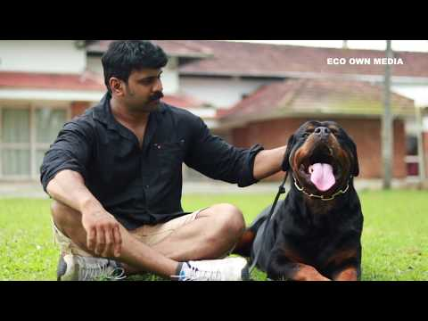 Indian Rottweiler king's Gizmo and Grom | Timit Tor | Best kennel in kerala
