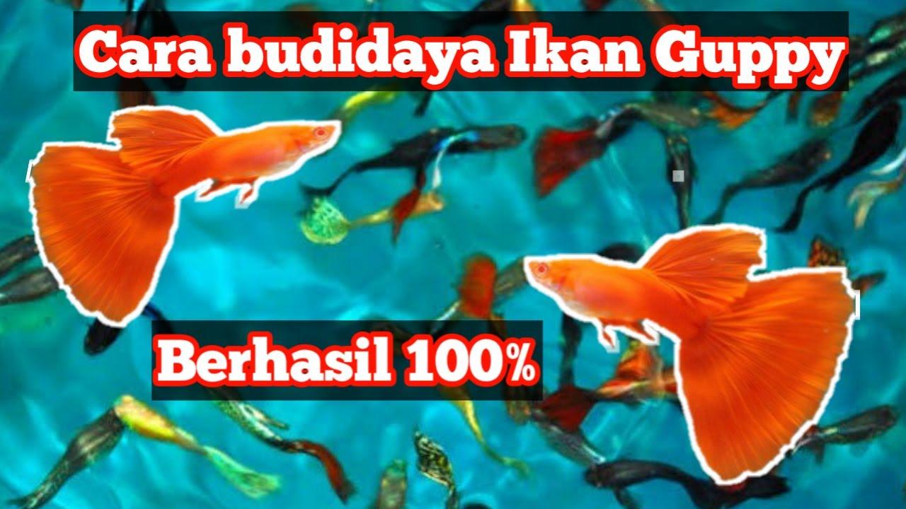 Cara Budidya Ikan Hias Guppy Yang Baik dan Benar.. Dijamin ...