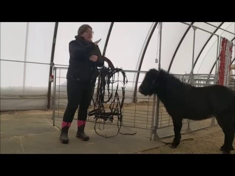 Harnessing The Miniature Horse - Part One