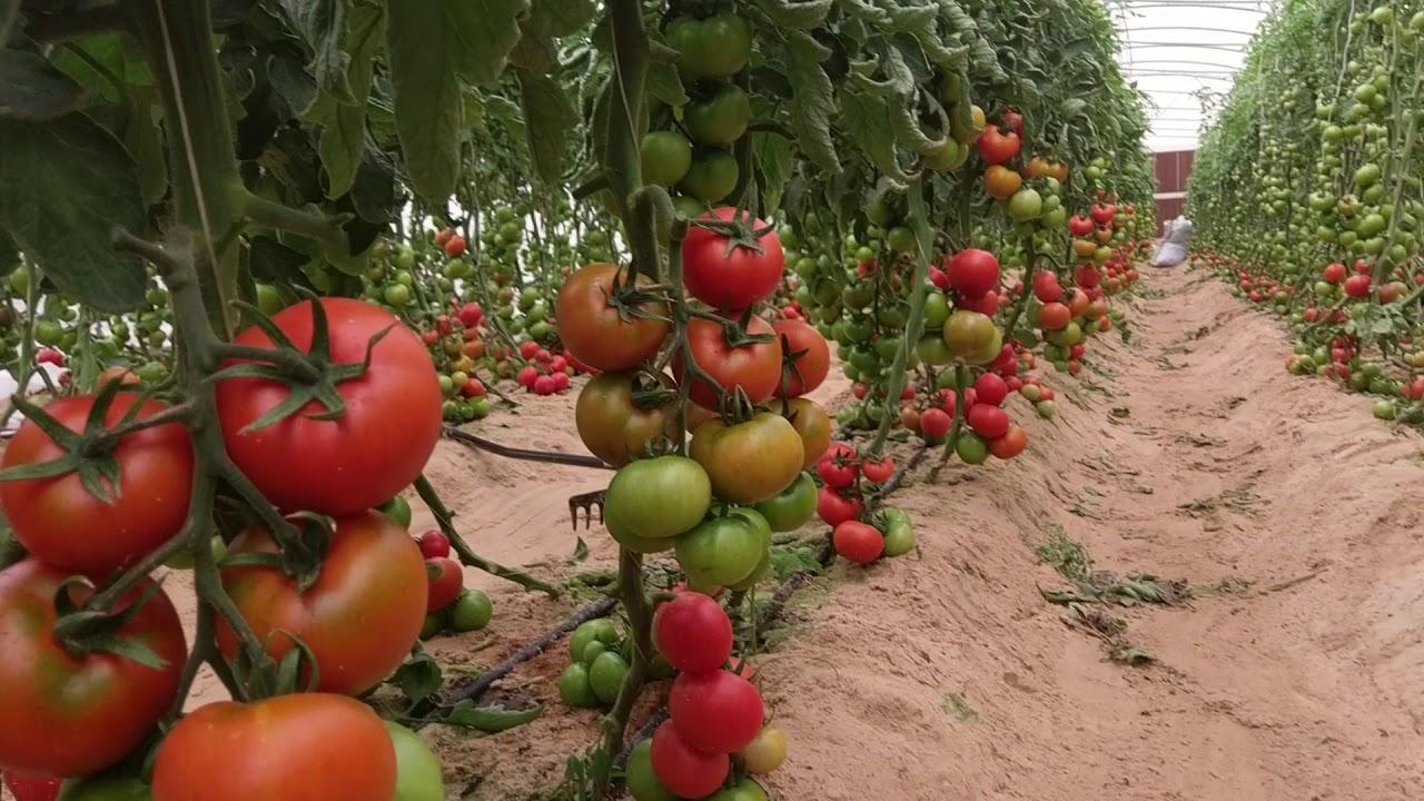 الطماطم فى البيوت المحمية