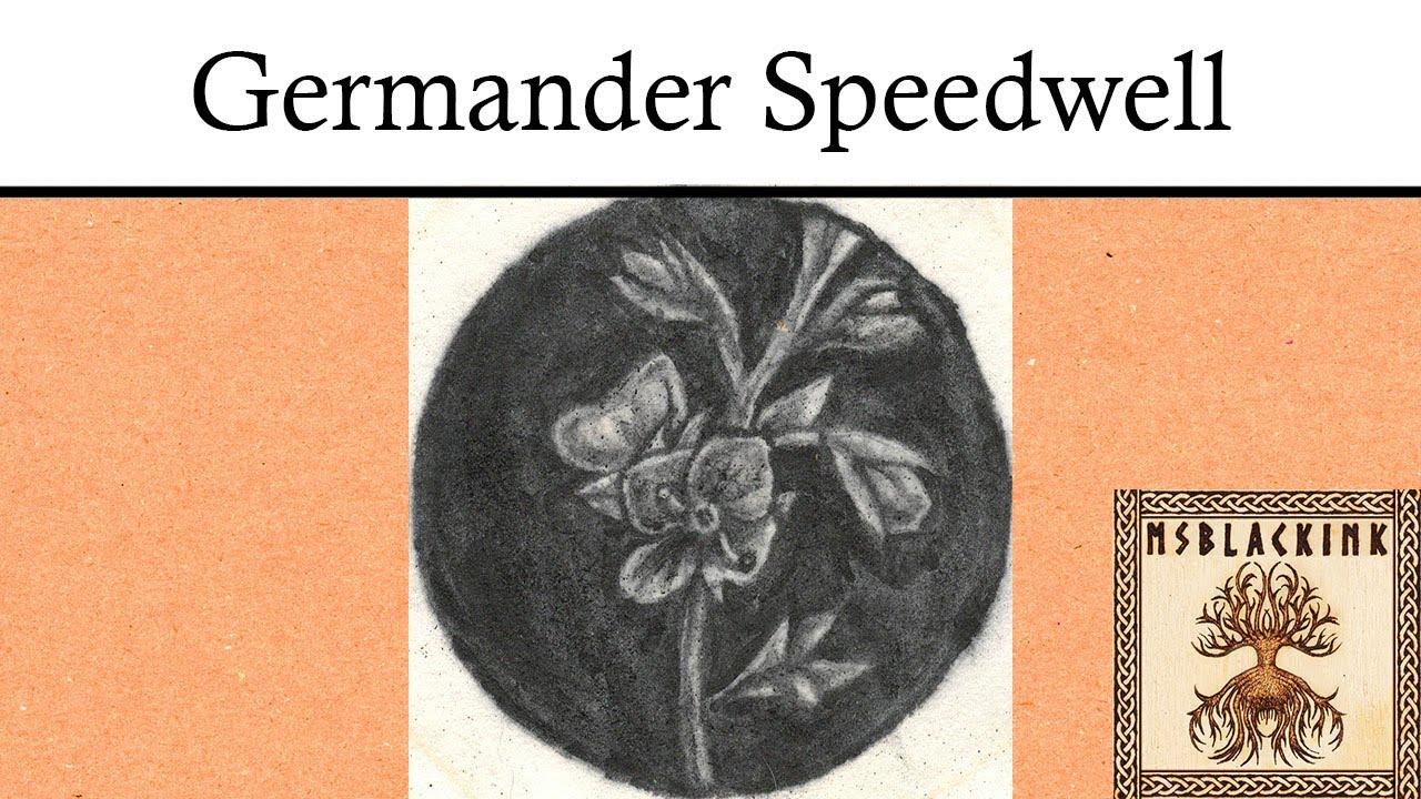 Germander Speedwell