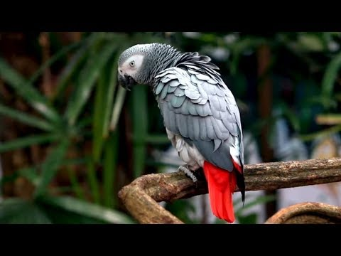 "Say Hello to the ""AFRICAN GREY PARROT"""