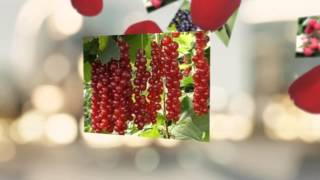 видео где купить саженцы малина