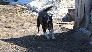 Многодетную мать едва не разорвали собаки на Камчатке | Новости сегодня | Масс Медиа