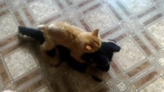 Кот насилует собаку
