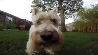 Gopro On Gopole Reach Filming Steady Upside Down White Miniature Schnauzer Puppy Running