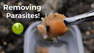 Removing Blood Sucking Parasites From Shrimp