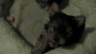 2 Tiny Cute Yorkies Acting Tough In Brockton Massachusetts
