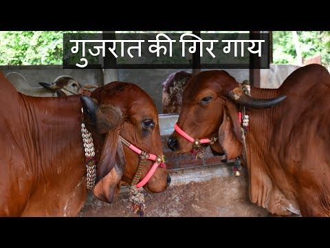 गुजरात की गिर गाय   Pure breed Gir cow from Gujarat