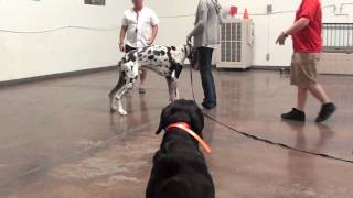 Dog Training - Proofing A Conformation Stand With Great Dane
