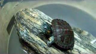 巴西龜的叫聲