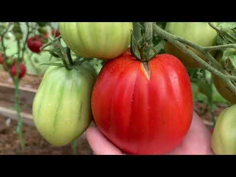 Обзор сортов томатов.Сезон 2020.Часть 4