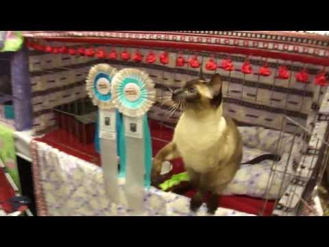 Old Style Siamese (Thai) cat Isaac playing at show