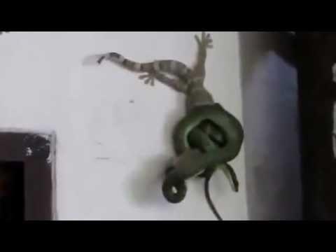 Tắc kè dũng cảm cứu bạn khỏi con rắn