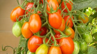 Tomaten gießen - Worauf ist zu achten - Mein Balkon Garten