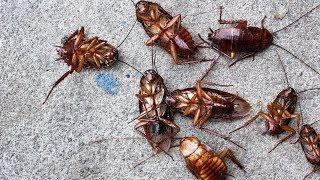 Esta Es La Solución Definitiva Para Matar Cucarachas | Remedios Caseros Para Las Cucarachas