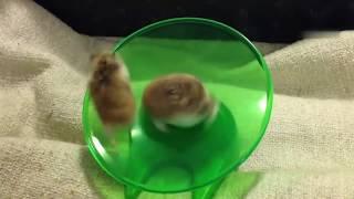 Беговая тарелка для развлечения грызунов хомяков и просто домашних любимцев. Обзор на товар