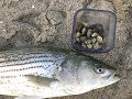 How to Catch More STRIPED BASS with Sand Crabs, Non-Stop Striped Bass Action