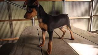 ミニチュアピンシャー子犬販売情報はhttp://www.dog-lien.com/index.php...