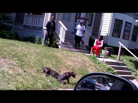 Dog fight inthe hood