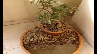 how to care adenium bonsai plant with flowers   repotting and pruning adenium obesum