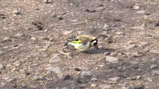 Stieglitz (Distelfink) - Vogel des Jahres 2016