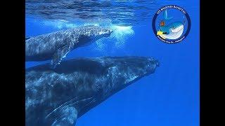 Baleines à bosse_Vidéo exceptionnelle_Les Baleines Rand'eau