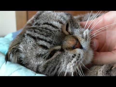 Ultra HD 4K Scottish Fold Cat Pat