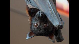 🇮🇹 GLI ANIMALI DI POTERE: IL PIPISTRELLO 🦇 , 🇬🇧 POWER ANIMALS: THE BAT 🦇