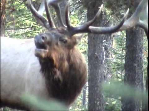 Screaming Bulls Elk Rut 2012