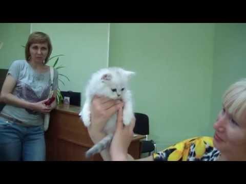 Как сделать родословную кошке без документов шотландской породы