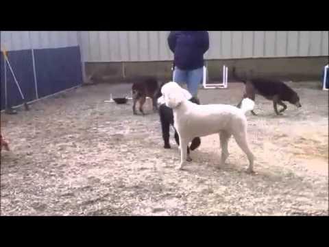 Standard Poodles came for dog aggression