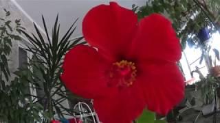 Гибискус, Китайская роза, пересадка,  обрезка, черенкование .