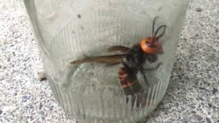 オオスズメバチが庭を飛んでいたので、ビンで捕獲しました。よく見たら...